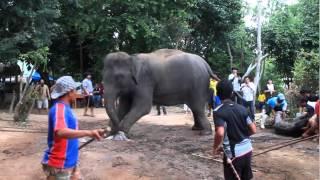 ช้างคลอดลูก ณ.หมู่บ้านช้างหัวหิน