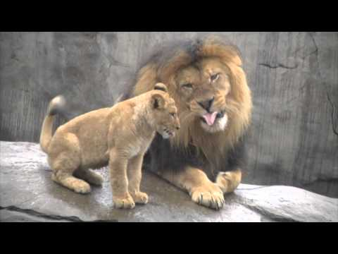 Lion cubs meet dad