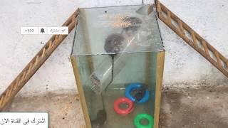 فخ الفئران |شاهد احدث طرق مبتكرة لصيد الفئران |أفضل حل للقضاء على الفئران