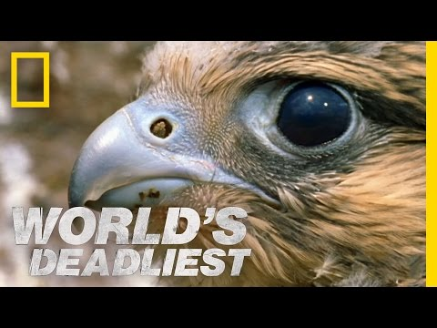 World's Deadliest - Fastest Animal Makes a Kill