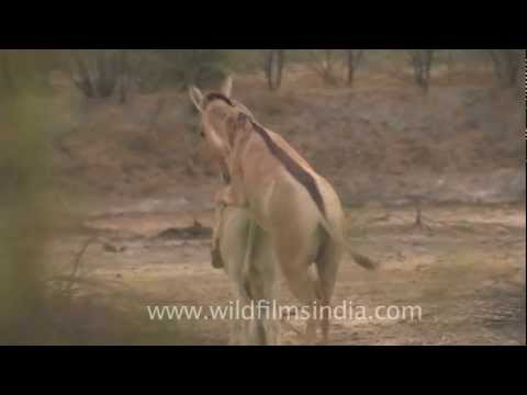 Indian Wild Asses Mating! video