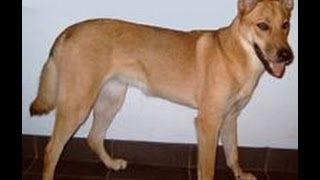 ~Carolina Dog Temperament~ Does this Breed of Dog have the Right Temperament for Me?