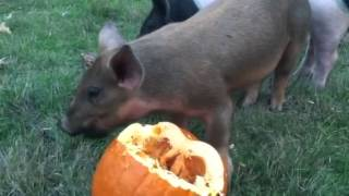 Duroc piglet guilt eating a pumpkin