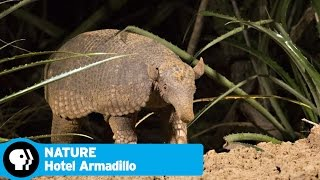 HOTEL ARMADILLO on NATURE | Official Trailer | PBS