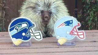 Teddy Bear the Porcupine Predicts Super Bowl XLIX Winner