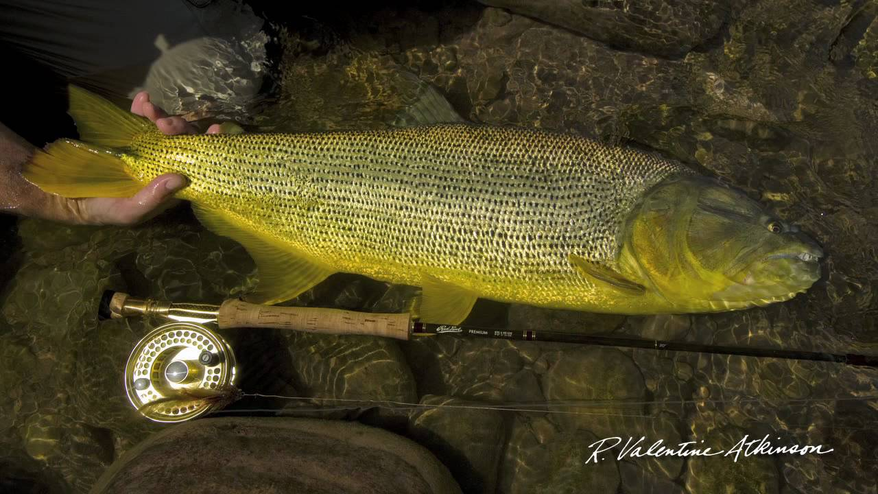 Fly fishing for dorado in bolivia leland fly fishing for Leland fly fishing