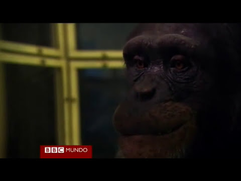 El chimpancé más inteligente del mundo Video BBC Mundo