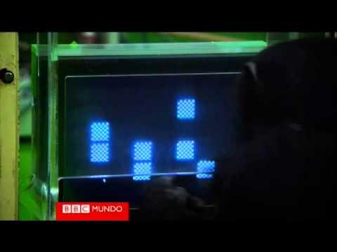 El chimpancé más inteligente del mundo Video BBC Mundo