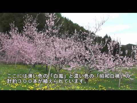 高山市 ~桃の花~