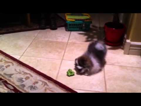 Thumbnail of video Puppy is suspicious of broccoli