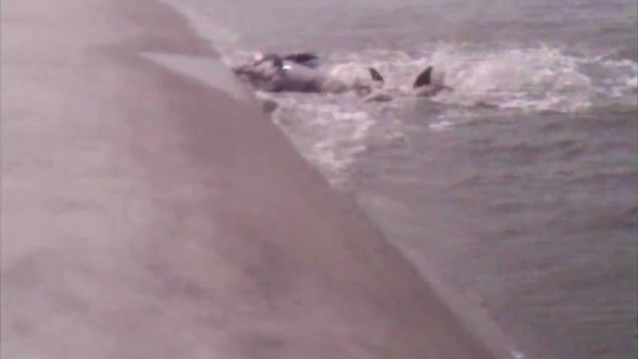 Dolphins strand feeding kiawah island at captain sam 39 s for Kiawah island fishing