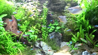 38 Gallon Planted Community Aquarium Long Relaxing Audio