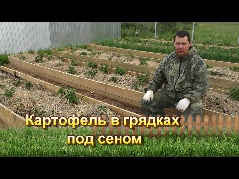 Картофель в грядках под сеном