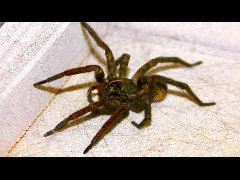 Giant Kitchen Spider video