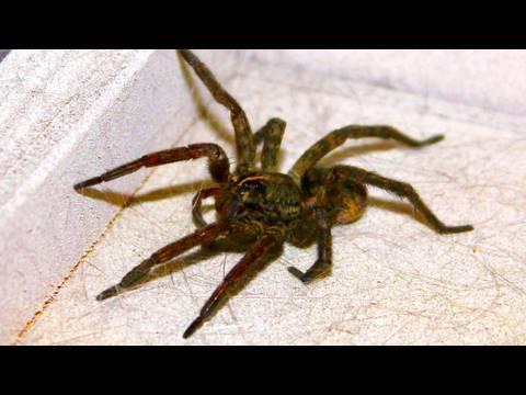 Giant Kitchen Spider video