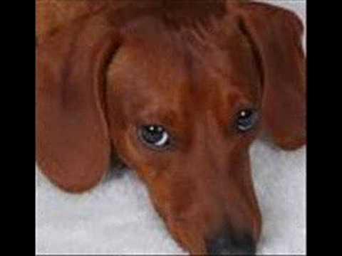 Perros salchichas bruno y luna video eres para mi youtube - Casetas de perros grandes ...