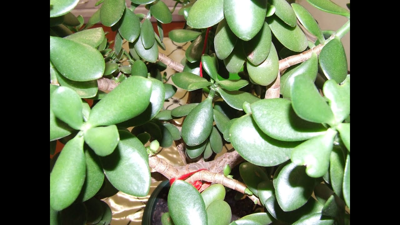 Как посадить Денежное дерево (Толстянку) правильно 86