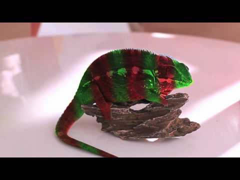 Crazy Chameleon -- Crazy chameleon colour change