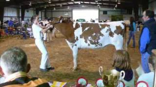 dairy cow show
