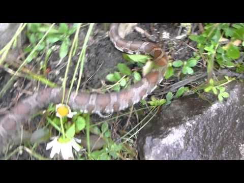 Milk Snake Capture and Release