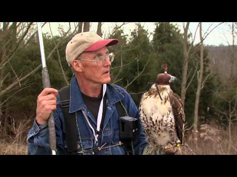 Falconry Rabbit Hunting Video
