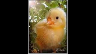 pollito chiken canción de Tatiana