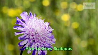 Scabious Growing Guide by GardenersHQ