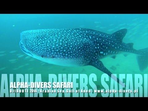 Whale shark diving - nurkowanie rekin wielorybi - ALPHA-DIVERS DJIBOUTI 2014
