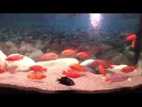 Jewel Cichlid Aquarium