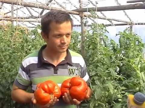 Paradajz Jabučar | growing tomatoes - Tomato Giant - Džinovski Paradajz