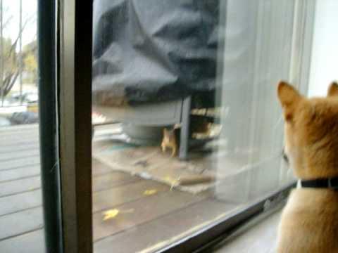リス<かかってこいよw 窓 うおおおぉお!>柴犬