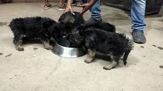 GSD puppies Male female 8000 contact 8618472313