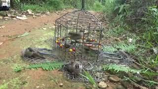 Video Bẩy Chim Bằng Lụp 5 Mặt Đập Của Thế Hào ( Lụp Hiện Tại Chỉ Có 1 Cái Hào Đang Sở Hửu )
