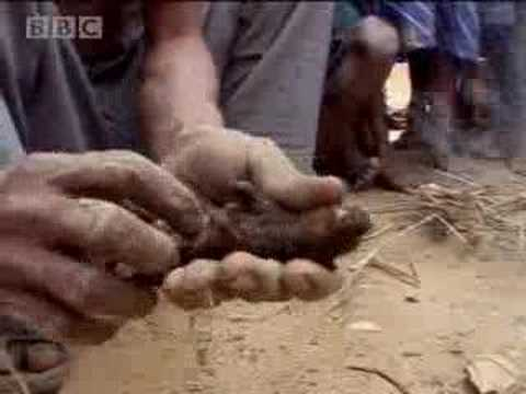 Eating rats - world food and cooking - BBC