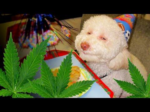 Medicinal Cannabis For Pets?