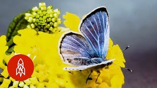 This Butterfly Was Extinct, 10 Years Later it Reappeared