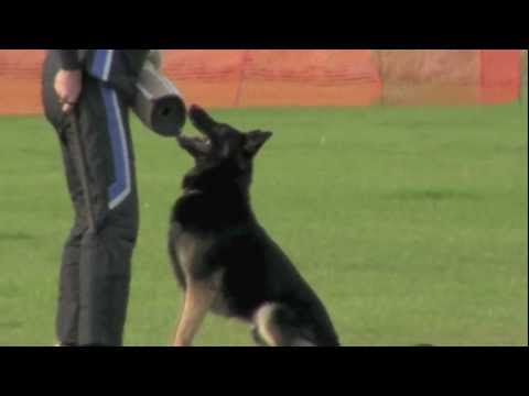 Vongalanberg Kai Protection at GSDL-WDG National Schutzhund Championships