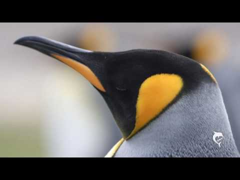 Penguins of the Falkland Islands II: King Penguins