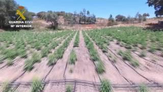 Descubren la mayor plantación de marihuana cuando extinguían un incendio
