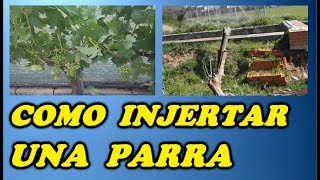 Como Injertar Una Parra  //  As graft a vine
