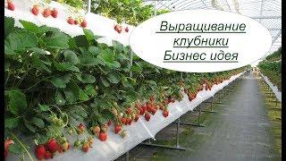 Выращивание клубники. Бизнес идея