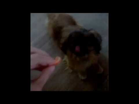 Dogs eating fruits and vegetables #2 - The Tomato