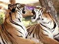 ojo de tigre ( letra en ingles )