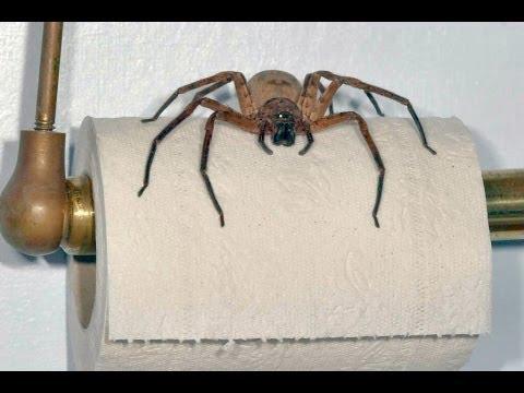 hqdefault jpgGiant Australian Spiders