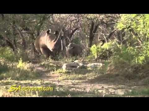 Lion attack Lions of Imfolozi Game Reserve 2 life NEW@croos