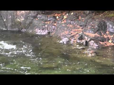 Dry Fly & Sight Fishing Steelhead & Salmon