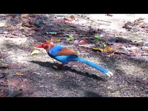 Sri Lanka Blue Magpie (urocissa Ornata). Sinharaja Forest Reserve, South-west Sri Lanka. video