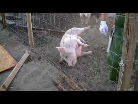 download pig slaughter video mp3 mp4 3gp webm download