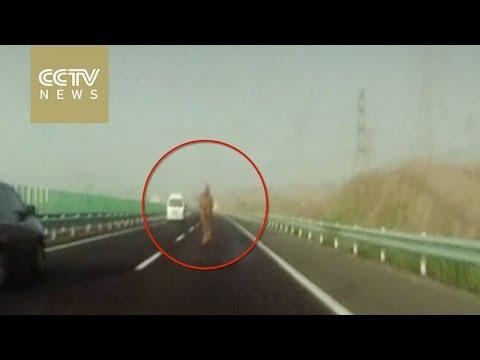 Runaway camel bolts down Xinjiang highway