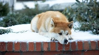HACHI (2009) HACHIKO: A Dog's Love Story VERY EMOTIONAL